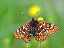 Free Butterfly Euphydryas Aurinia (Melitae). Royalty Free Stock Photography - 554327