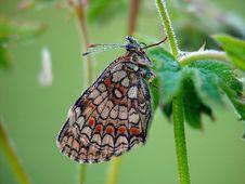 Free Butterfly Melitaea Athalia. Stock Photo - 554330