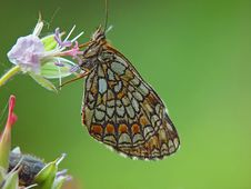 Free Butterfly Melitaea Athalia. Stock Photo - 554540