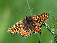 Free Butterfly Euphydryas Aurinia (Melitae). Stock Photography - 554542