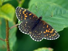 Free Butterfly Melitaea Sp. Stock Photos - 554543
