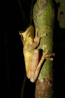 Free Tree Frog Stock Image - 554711