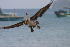 Free Pelican Royalty Free Stock Images - 555299