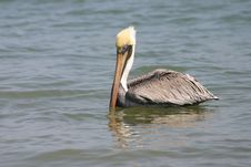 Free Pelican Stock Photography - 555302
