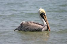 Free Pelican Stock Photo - 555360