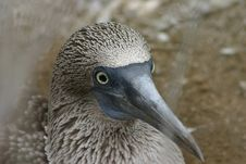 Free Blue-footed Booby Royalty Free Stock Photo - 555405