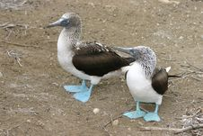 Free Blue-footed Boobies Royalty Free Stock Image - 555406