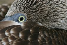 Free Blue-footed Booby Stock Photo - 555410