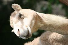 Free Camel Royalty Free Stock Image - 555596