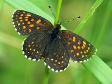 Free Butterfly Melitaea Sp. Meets Seldom. Stock Photo - 556640