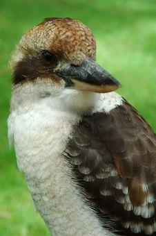 Free Kookaburra Royalty Free Stock Photos - 556908
