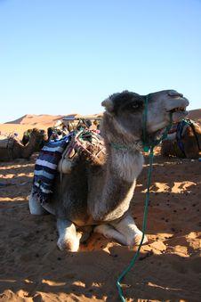 Free Camel Stock Photo - 556990