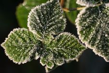 Free Frosty Leaves Royalty Free Stock Photography - 557547