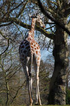 Free Giraffe Royalty Free Stock Photos - 557738