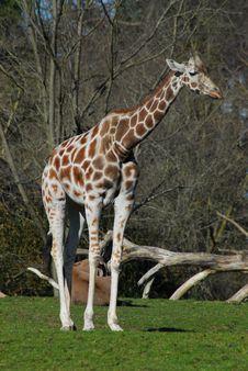 Free Giraffe Stock Photography - 557742
