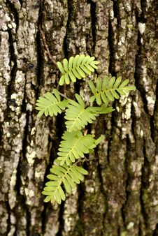 Free Fern Growning From An Oak Tree Stock Image - 557921