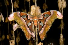 Free Atlas Moth Butterfly Stock Photography - 558682