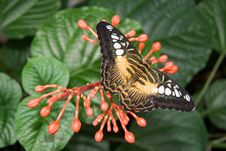 Free Brown Clipper Butterfly Stock Images - 558684