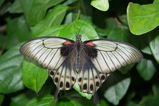 Free The Great Mormon Butterfly Stock Photo - 558730