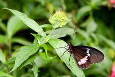 Free Scarlet Swallowtail Butterfly Stock Photography - 558732