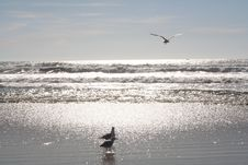 Free Seagulls In The Surf Royalty Free Stock Photography - 559097