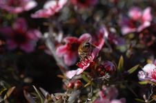 Free Macro Of Bee On Pink Flower From Behind Royalty Free Stock Image - 559246