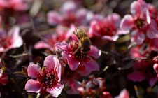 Free Macro Bee On Red Flower Shrub Royalty Free Stock Photos - 559248