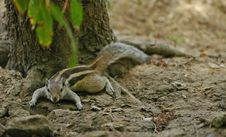 Free Cooked Chipmunk Stock Photos - 559323