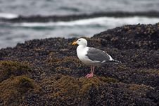 Free See Gull Royalty Free Stock Image - 559816