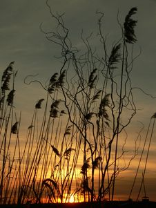 Sunset Behind The Reed Stock Photos