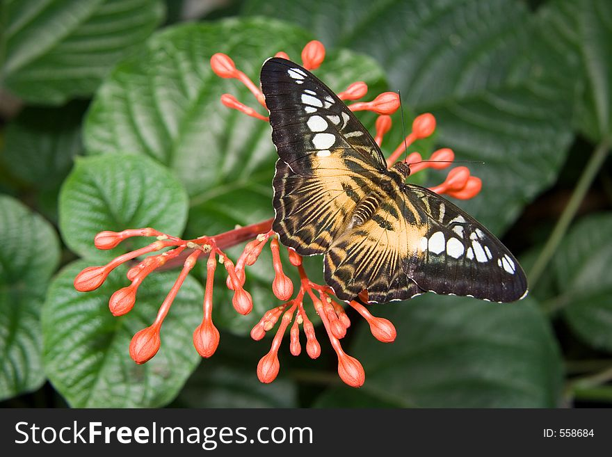 Brown Clipper Butterfly