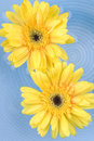 Free Yellow Gerbera Daisies Stock Photo - 5500640