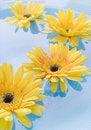 Free Yellow Gerbera Daisies Royalty Free Stock Photo - 5500985