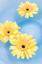 Free Yellow Gerbera Daisies Royalty Free Stock Image - 5501066