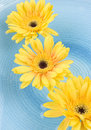 Free Yellow Gerbera Daisies Stock Photography - 5503692