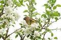 Free Yellow Cedar Waxwing In Tree Stock Image - 5506751