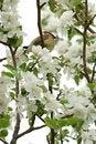 Free Yellow Cedar Waxwing In Tree Stock Photos - 5506783