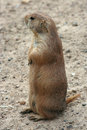 Free Cute Prairie Dog Royalty Free Stock Photos - 5506938