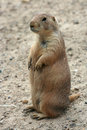 Free Cute Prairie Dog Royalty Free Stock Images - 5506949