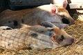 Free Piglets Sleeping Royalty Free Stock Photo - 5507195
