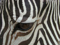 Free Sight Of A Zebra (Equus) Royalty Free Stock Photo - 5509465