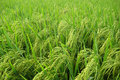 Free Paddy Field Stock Images - 5509524