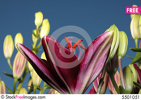 Free Burgundy Lily Shot From Below Stock Image - 5501051