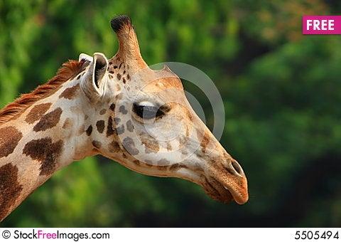 Free Giraffe Stock Images - 5505494