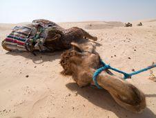 Free Camel Portrait Stock Image - 5500021