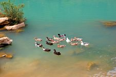 Free Ducks On The Pool Royalty Free Stock Images - 5500149
