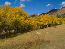 Free Aspen Meadow Royalty Free Stock Photo - 5500205