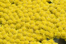 Free A Bed Of Yellow Flowers Stock Images - 5500214
