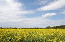 Free Yellow Field Stock Image - 5500261
