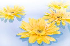 Free Yellow Gerbera Daisies Royalty Free Stock Photography - 5500587